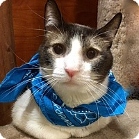 Snowshoe Cat for adoption in Long Beach, New York - Cheetah