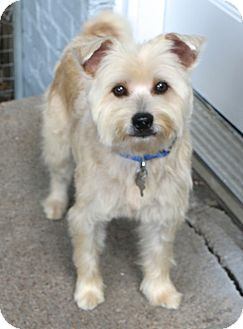 Schnauzer (Miniature)/Terrier (Unknown Type, Small) Mix Dog for adoption in Norwalk, Connecticut - Dryden - MEET ME