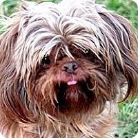 Adopt A Pet :: BENTLEY(ADORABLE