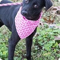 Adopt A Pet :: Viola Davis - Jersey City, NJ
