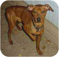 Miniature Pinscher Mix Dog for adoption in Florissant, Missouri - Red