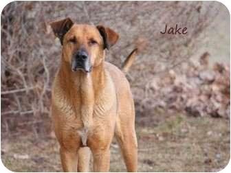 Jake   Adopted Dog   Hamilton, MT   Rhodesian Ridgeback ...