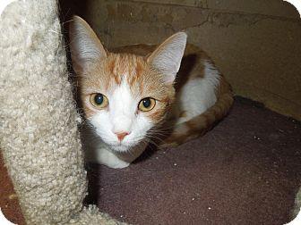 Domestic Shorthair Cat for adoption in Medina, Ohio - Roco