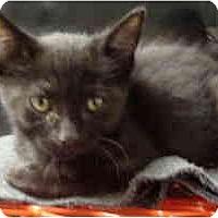 Adopt A Pet :: Beethoven - Mesa, AZ
