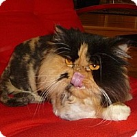 Adopt A Pet :: Sheba - Beverly Hills, CA