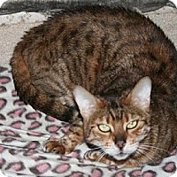 Bengal Cat for adoption in Louisville, Kentucky - TESS - IL