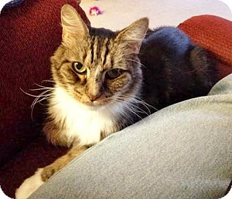 Maine Coon Cat for adoption in Oakland, California - Samson