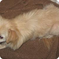 Pomeranian Mix Dog for adoption in Nixa, Missouri - Cami Sue 597