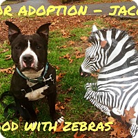 Adopt A Pet :: JACOB - yonkers, NY