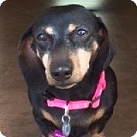 Adopt A Pet :: Cali Corellia - Houston, TX