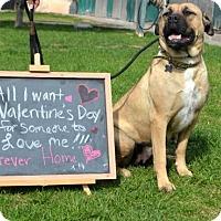Adopt A Pet :: Farrah - Goodyear, AZ