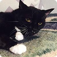 Adopt A Pet :: Bootsie - Addison, IL