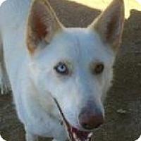 Adopt A Pet :: SHALIMAR (AUBURN) SUPER FRIEND & ACTIVE - Bainbridge Island, WA