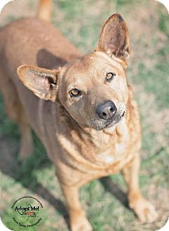 Cattle Dog/Carolina Dog Mix Dog for adoption in Iola, Texas - Comet