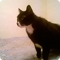 Domestic Shorthair Cat for adoption in Warren, Michigan - Mister Mister