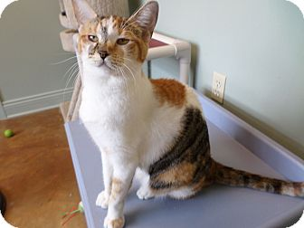 Calico Cat for adoption in Lake Charles, Louisiana - Cheddar
