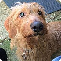 Adopt A Pet :: Buzzy - McKinney, TX