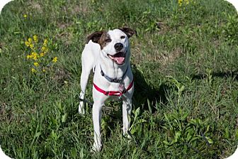 Pointer/Labrador Retriever Mix Dog for adoption in Enfield, Connecticut - Able