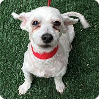 Adopt A Pet :: Precious - Redondo Beach, CA