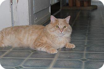Domestic Longhair Cat for adoption in Elliot Lake, Ontario - Jack