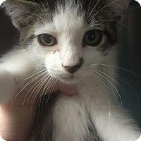 Domestic Shorthair Kitten for adoption in St. Louis, Missouri - Kota