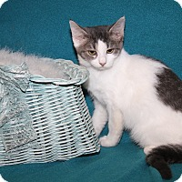 Domestic Shorthair Cat for adoption in Marietta, Ohio - Oprah (Spayed)