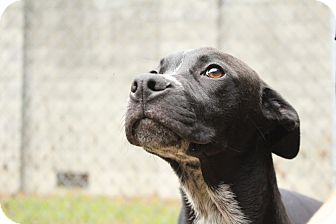 American Pit Bull Terrier Mix Dog for adoption in Tarboro, North Carolina - 8 Ball