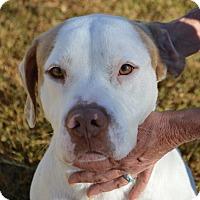 American Bulldog Mix Dog for adoption in East Windsor, Connecticut - BERT