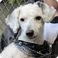 Poodle (Miniature) Mix Dog for adoption in Sonoma, California - Oliver