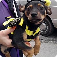 Adopt A Pet :: Acorn - Detroit, MI