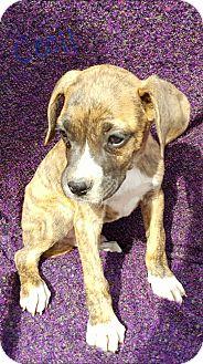 Boxer/Labrador Retriever Mix Puppy for adoption in Niagra Falls, New York - Cecil