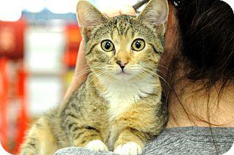 Domestic Shorthair Kitten for adoption in Houston, Texas - Reese