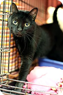 Domestic Shorthair Cat for adoption in Appleton, Wisconsin - Brownie