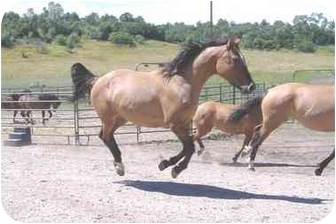 Appendix/Quarterhorse Mix for adoption in Bayfield, Colorado - Stiltz