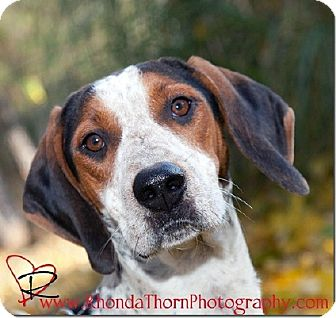 Treeing Walker Coonhound Dog for adoption in Sacramento area, California - Windy