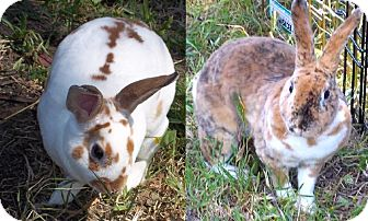 Mini Rex for adoption in Santee, California - Sugar