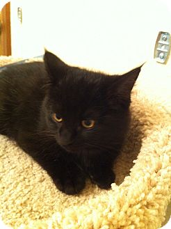 Domestic Mediumhair Kitten for adoption in Fountain Hills, Arizona - OZZY