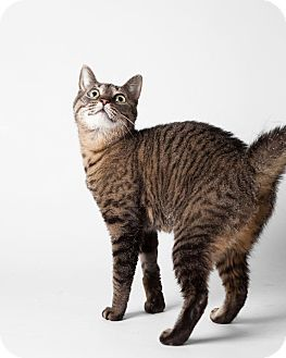 Domestic Shorthair Cat for adoption in Rockaway, New Jersey - Chatty