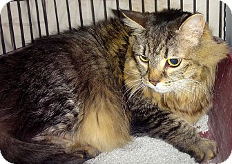 Maine Coon Cat for adoption in Escondido, California - Tiigera