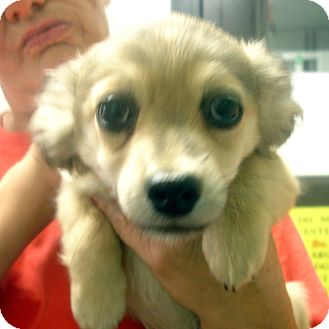 Pomeranian/Dachshund Mix Puppy for adoption in baltimore, Maryland - Royce