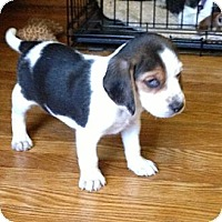 Adopt A Pet :: Sting - Novi, MI