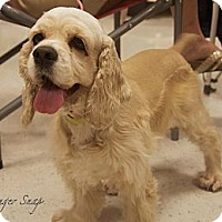 Adopt A Pet :: Ginger - Sugarland, TX