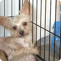 Adopt A Pet :: Little Lover - San Antonio, TX