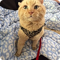 Domestic Shorthair Cat for adoption in Chandler, Arizona - Mista