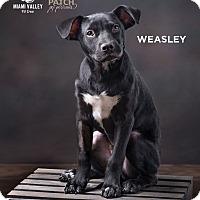 Adopt A Pet :: Weasley - Dayton, OH