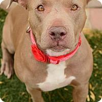 Adopt A Pet :: Nova - tucson, AZ