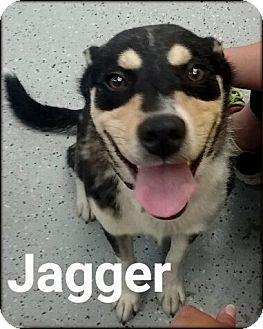 Siberian Husky/German Shepherd Dog Mix Dog for adoption in Ottumwa, Iowa - Jagger