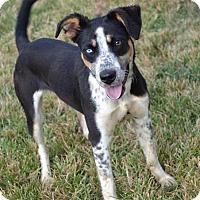 Cattle Dog/Australian Shepherd Mix Dog for adoption in Concord, North Carolina - Chaska