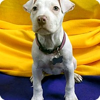 Terrier (Unknown Type, Medium) Mix Puppy for adoption in Detroit, Michigan - Pinky