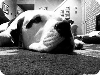 American Bulldog Dog for adoption in Newtown, Pennsylvania - Doyle